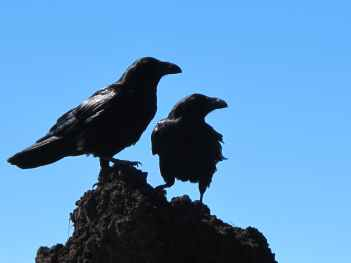 birds-crow-black-47815.jpeg